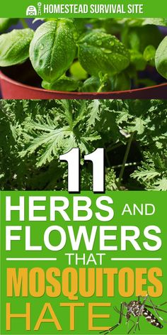 11 Herbs And Flowers That Mosquitoes Hate Bug spray may work, but it's also sticky and smelly. That's why investing in herbs and flowers and other plants that repel mosquitoes is a better option. Herb Garden Design, Diy Garden Decor, Diy Decoration, Homestead Survival, Homestead Farm, Survival Tips, Survival Skills, Organic Gardening, Gardening Tips