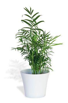 Palmera de salón  En composición aporta verticalidad. Queda bien en composiciones de plantas pequeñas con kalanchoe, espatifilo y hiedra.