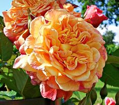 """Aloha Hawaii - Stunning climber in a tropical blend of apricot, pink, and red. Recurrent bloom with clusters of up to 10 4"""" flowers (40-50 petals). Height 6-8ft., width 4 ft. Very vigorous, strong canes, healthy. Delicate fruity fragrance. Kordes, 2003."""