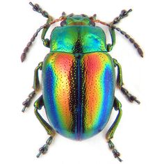 Leaf beetle Chrysolina fastuosa (Scopoli, 1763) - photo by K.V. ❤ liked on Polyvore
