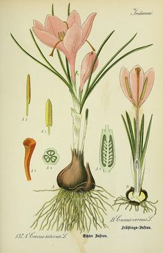 Crocus botanical illustration - by BioDivLibrary, via Flickr