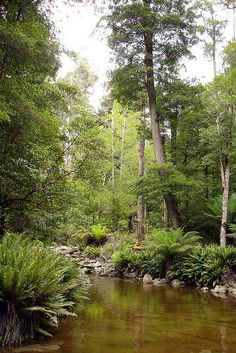 Rainforest in Tasmania, Australia Great Places, Beautiful Places, Places To Visit, Tasmania, Gold Coast Australia, Australian Continent, Australia Travel, The Great Outdoors, New Zealand