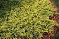 Dwarf Conifers for sale,Evergreen Shrubs,Buy Plants Online,Dwarf Conifers Michigan Blue, Evergreen Groundcover, Rabbit Resistant Plants, Copper Harbor, Buy Plants Online, Rock Garden Plants, Thing 1, Night Garden, Hardy Perennials