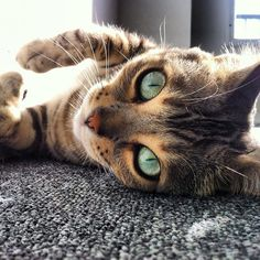 I need you to buy it for me :) Bengal cat