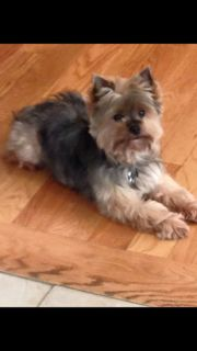 Lost Dog - Yorkshire Terrier in LONG BRANCH, NJ     	 Pet Name:	DUDU   (ID# 104079) Gender:	Male Breed:	Yorkshire Terrier Color:	Brown Color 2:	Black Pet Size:	Small (10-19lbs) Pet Age:	2 years Date Lost:	08/18/2015 Zip Code:	07740 (LONG BRANCH, NJ) See All Lost Dogs In LONG BRANCH, NJ