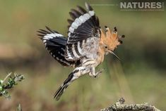 A hoopoe comes in to land showing off the crest which is the trademark feature of these birds photographed on the NaturesLens Birds of Calera Photography Holiday