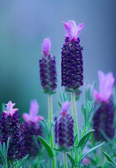 ~~Some lavender by alan shapiro~~