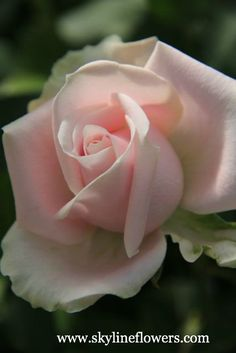 If I had a rose for every time I thought of you I'd be picking roses for a lifetime. Felt Flowers, My Flower, Pretty Flowers, Pink Roses, Pink Flowers, Flowers Pics, Amazing Flowers, Beautiful Roses, Forever Rose