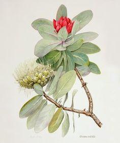 Kathleen Baker – The Society of Botanical Artists