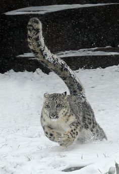 Sarani, a 1-year-old female snow leopard enjoys the snow around her outdoor habitat at the Brookfield Zoo, Jan. 12, 2012 in Brookfield, Ill.