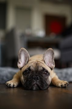 Frank French Bulldog | Pawshake