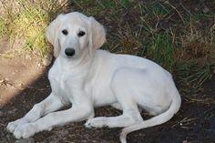 Salukiwelpen abzugeben (Nottleben) - Saluki (Persischer Windhund) - dhd24.com