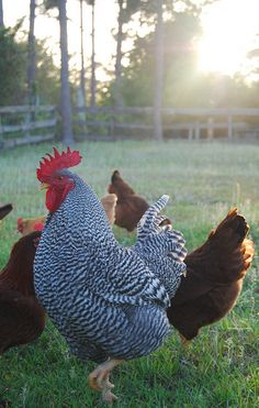 Barred Plymouth Rock Rooster struttin his stuff  #loveyourchickens #rooster #plymouthrockchickens