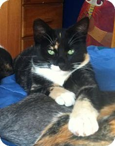 05/12/16 SL~~~Domestic Shorthair Cat for adoption in Alamo, California - Rohini