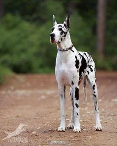 Best Dogs And Puppies Great Dane Sweets Ideas Big Dogs, I Love Dogs, Cute Dogs, Cute Dog Costumes, Harlequin Great Danes, Sweet Dogs, Dane Puppies, Great Dane Puppy, Dog Halloween