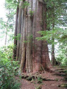 Giant tree on Meares Island, Tofino, BC