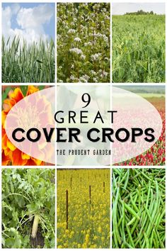 Cover crops are extremely important for healthy garden soil. These nine cover crops are good for the soil and readily available in small quantities.: