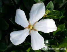 Pinwheel Hardy Gardenia Bush  Flowering evergreen Shrub for sun or partial shade
