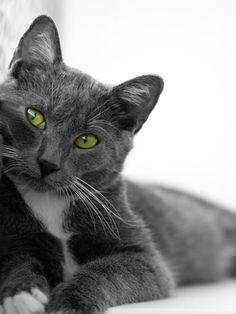 Green Eyed Beauty!  I love gray/blue cats!