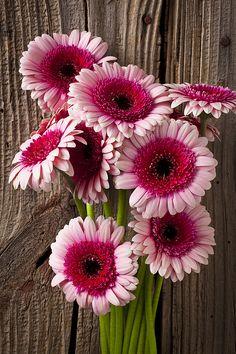 Pink Gerbera Daisies Photograph by Garry Gay - Pink Gerbera Daisies Fine Art Prints and Posters for Sale Gerbera Flower, Pink Gerbera, My Flower, Flower Power, Happy Flowers, Pink Flowers, Beautiful Flowers, Bulb Flowers, Daisy