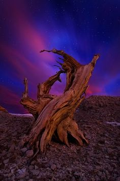 Bristlecone Pine Forest in the white mountains - Inyo county, California