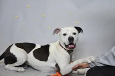"""8/26/16 Biggie - URGENT - Town of Hempstead Animal Shelter in Wantagh, NY - ADOPT OR FOSTER - Adult Neutered Am. Staffordshire Terrier - AT SHELTER SINCE August 2015 *doesn't show well in the kennel* - Biggie is house trained, crate trained, and knows the commands """"sit"""", """"down"""" and """"come"""". He has lived with seniors to infants and was described as playful and well behaved. He is friendly with strangers and great with other dogs! Due to his current nervousness, we recommend a home with ages 17…"""