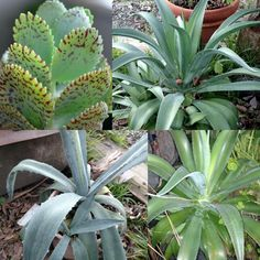 Do you know the name of top left succulent?  Not sure of names of these 3 others, I thought they are agaves, that's what I've always called them.  Do you know????
