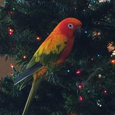 Rainbow is a beautiful sun conure.