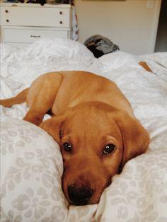 Meet Bauer- our Fox Red Labrador!