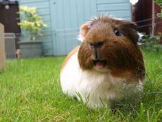 Laughing guinea pig