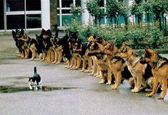 """・名前はミンストレル  ・もう十年以上、ロンドン警視庁警察犬訓練センターに住み着いてる  ・ここでの彼の仕事の一つは、警察犬の前を何気なく――人によっては   """"挑発的に""""と言うだろうが――歩く事である  ・これはひと通りの訓練を終えたジャーマンシェパードたちが、警察犬にふさわしい落ち着きを備えているかをみる最後の試験で、イヌたちはこの最終試験をパスしなければ警察犬になれない  ・イヌの調教に携わっているヴァル・アンドリュースが言うには「彼はここが好きなようね。イヌたちも、彼には一目おいているわ」"""