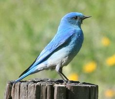 bluebird-M-827-pL.JPG (521×450)