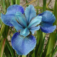 Siberian iris 'Ego'