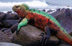 Marine Iguana © Robin Slater