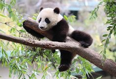 The Giant Panda is the rarest member of the bear family. Pandas live in the bamboo forests high in the mountains of western China. They subsist almost entirely on bamboo. They play a crucial role in the bamboo forests by spreading seeds and fostering the growth of vegetation, but because the Panda's habitat is at the heart of the geographic & economic center of China, it is critically endangered. Roads & railroads increasingly fragment it, isolating panda population, making mating difficult.