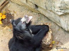 Black bear Fort Worth Zoo, Black Bear, Animals, Animales, American Black Bear, Animaux, Animal, Animais