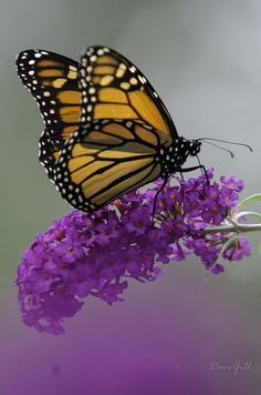 Monarch Butterfly // Fell in love