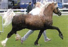 Pretty Welsh Section C stallion, Aberaeron Idris, at http://www.aberaeron.net