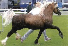 Pretty Welsh Section C stallion, Aberaeron Idris, at http://www.aberaeron.net