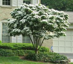 White Kousa Dogwood Tree - Elegant white blooms cover this unique variety in spring
