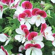 Pelargonium 'Angel Eyes Bicolour'. Window Box plant. Click image to add to your lists and to get care advice from Shoot.    Other names: Pelargonium 'Angel Eyes Bicolour', Geranium 'Angel Eyes Bicolour', Pelargonium 'Pacbicolor', Pelargonium crispum, Angel pelargonium, 'Angel Eyes Bicolour' is a tender, bushy, trailing when mature, evergreen perennial with rounded, lobed, mid-green leaves and, in summer and autumn, double flowers with deep rose-pink upper petals and white lower petals.