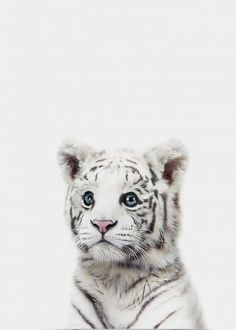 Baby Animals Baby White Tiger Print from The Crown Prints Zoo Animals, Cute Baby Animals, Animals And Pets, Funny Animals, Wild Animals, Baby White Tiger, Animal Nursery, Jungle Nursery, Nursery Boy