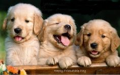 """What's that big, fluffy smile on four legs heading this way? Why, it's the wonderful Golden Retriever! Eliciting the greatest qualities """"man's best friend"""" has to offer, the Golden Retriever . Perros Golden Retriever, Golden Retrievers, Cute Puppies, Cute Dogs, Dogs And Puppies, Labrador Puppies, Doggies, Beagle Puppy, Newborn Puppies"""