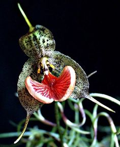 Dracula Orchid - hope that it does not smell like it looks...