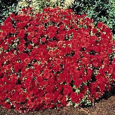 Autumn Flower: Cranberry Apple Fantasia Mum