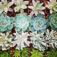 succulents, succulents & more succulents!