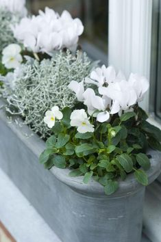 Winter flower box: violets and cyclamen - winter garden .- Winterblumenkasten: Veilchen und Alpenveilchen – Wintergarten Ideen Winter flower box: violets and cyclamen / # Cyclamen flower box - Balcony Planters, Flower Planters, Garden Planters, Balcony Ideas, Winter Pansies, Winter Flowers, Garden Wallpaper, Winter Planter, Deco Floral