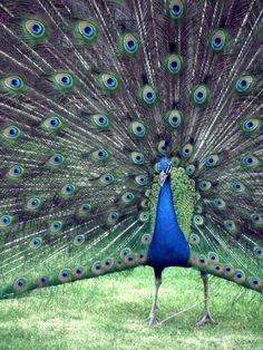 Pavo real, Museo Dolores Olmedo, Xochimilco, México, D.F. #pavoreal #peacock #Mexico