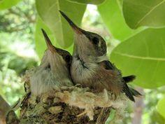 Bahama Woodstar Hummingbird babies on Providenciales Turks and Caicos ...