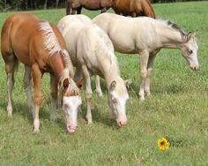 Schmersal Reining Horses :: Pale Face Dunnit' foals